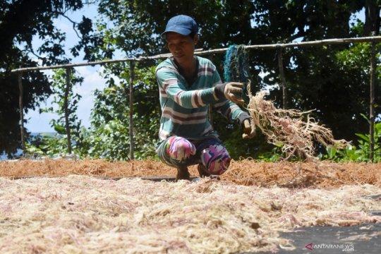 Cerita rumput laut dari Negeri Nuruwe