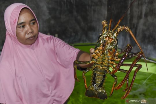 Budidaya lobster di Praya, Lombok Tengah