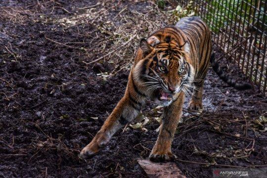 BKSDA lepas liarkan harimau sumatra ke Taman Nasional Gunung Leuser