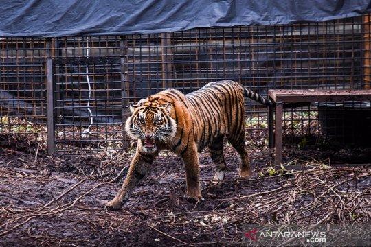Harimau Corina dilepasliarkan di Semenanjung Kampar