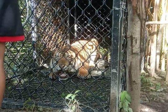 Harimau sumatera masuk perangkap BKSDA di Aceh Singkil