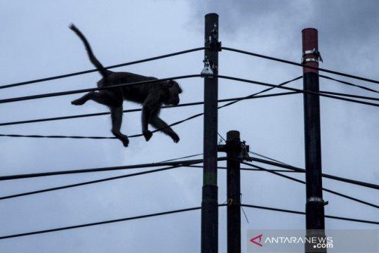 Monyet di Hutan Cisarua datangi permukiman warga