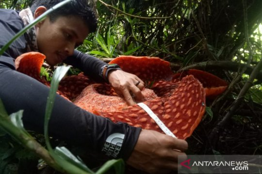 Bunga Rafflesia arnoldii bermekaran di Agam jelang akhir 2020
