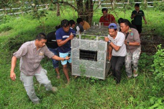 BKSDA Aceh evakuasi harimau sumatera ke Barumun