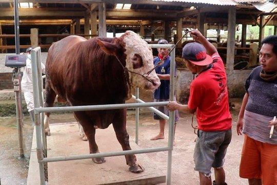 Tingkatkan kualitas sapi Temanggung melalui kontes ternak