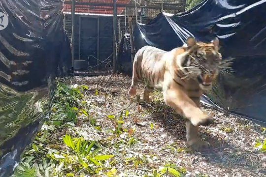 Mengembalikan Harimau Corina ke alam liar Sumatera