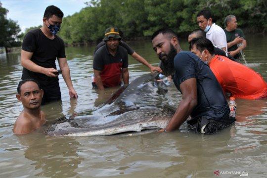 Seekor hiu paus tutul terdampar di Sungai Wanggu
