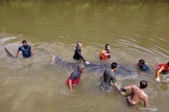 Petugas BKSDA evakuasi hiu paus yang terdampar di sungai di Kendari