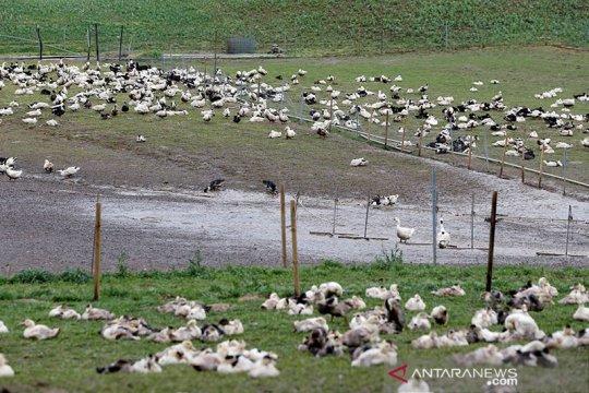 Prancis berencana musnahkan 600.000 unggas cegah flu burung
