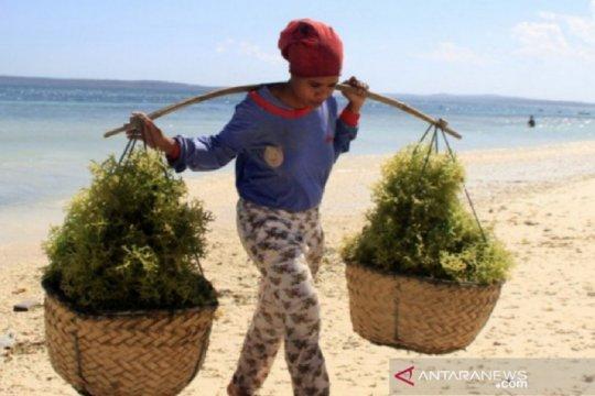 """Memanfaatkan peluang """"superfood"""" rumput laut demi ekonomi nasional"""