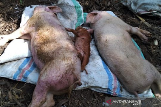 Ratusan ekor babi milik warga di Flores Timur mati mendadak