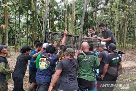 BBKSDA Sumut pasang perangkap harimau pemangsa ternak warga di Langkat