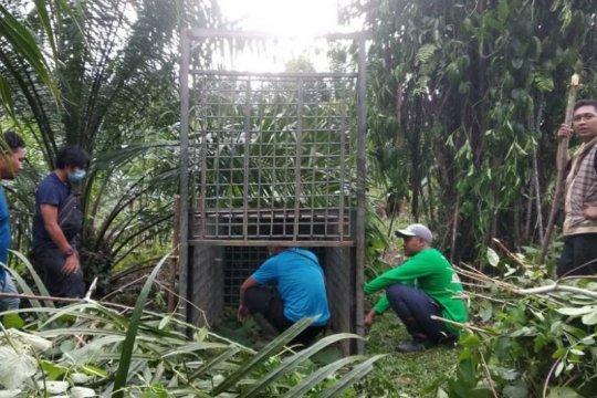 BBKSDA Sumut: Tim melakukan pengusiran harimau Sumatera di Langkat