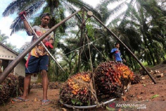 Harga CPO Jambi turun, menjadi di bawah Rp9.700 per kilogram