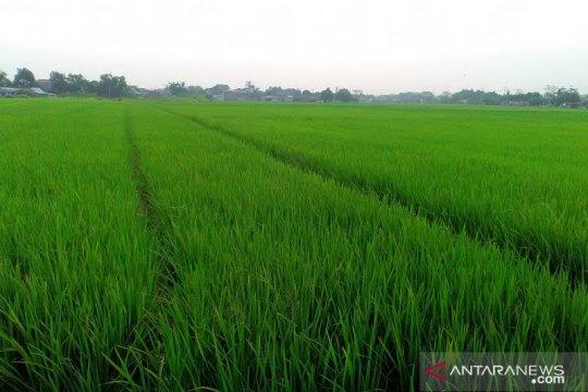 Pertani berhasil pasok benih untuk 1 Juta hektare sawah sepanjang 2020