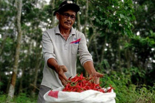 Petani cabai terbantu pemberdayaan YBM BRI