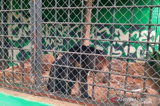 BKSDA Jambi merehabilitasi lima beruang madu