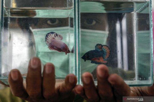 Budi daya ikan hias bantu tingkatkan pendapatan warga di masa pandemi