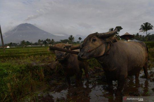 Kesiapsiagaan Pemkab Lumajang hadapi erupsi Gunung Semeru
