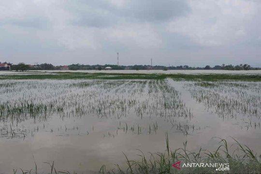 5.287 hektare sawah terendam banjir di Cirebon dan terancam puso