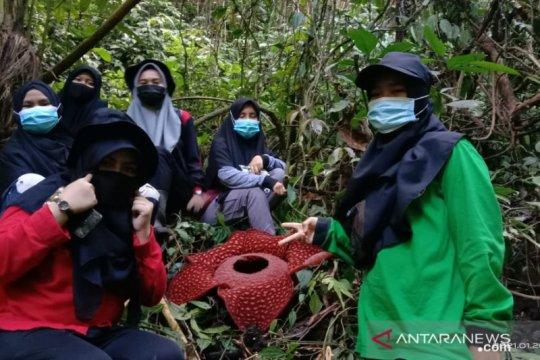 Rafflesia tuan-mudae mekar sempurna di Cagar Alam Maninjau, Agam