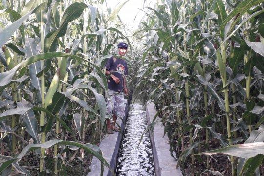Akibat peremajaan sawit, produksi jagung di Pasaman Barat turun