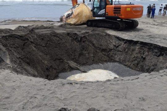 Bangkai paus Bryde sepanjang 13,8 meter ditemukan terdampar di Bali