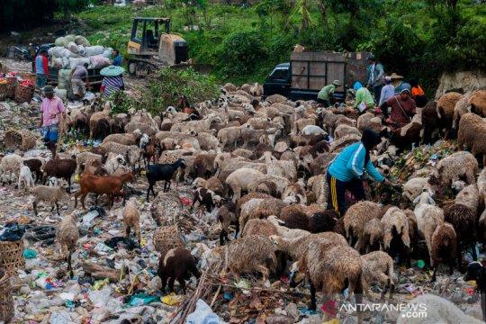 Kambing dan domba sengaja digembalakan di tempat sampah