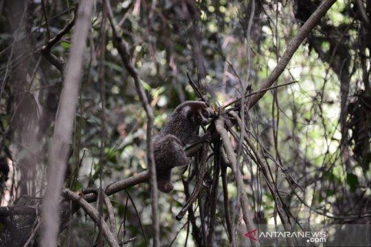 Empat kukang dan dua musang dilepasliarkan di hutan Bangka