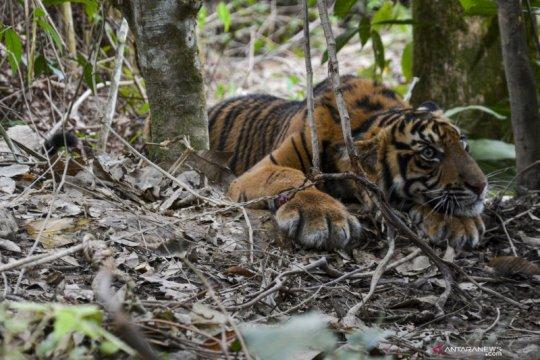 Evakuasi anak Harimau Sumatra