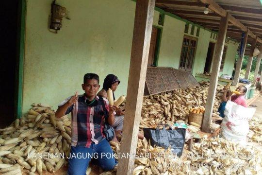 Petani Gunung Kidul mulai panen jagung seluas 47.198 hektare