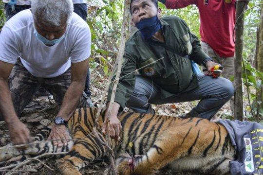 BKSDA: Kondisi anak harimau terjerat di Aceh makin membaik