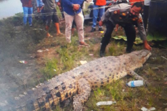Seekor buaya panjang empat meter ditangkap di Pasaman Barat