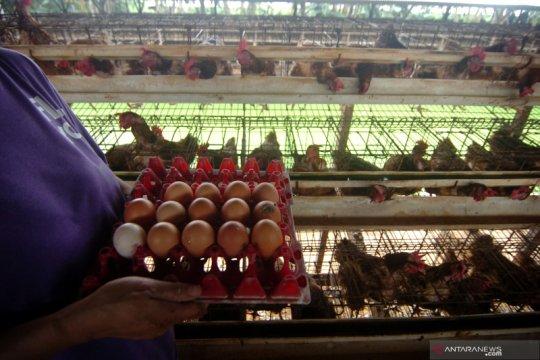 Kementan: Harga telur ayam akan turun hingga pertengahan Februari