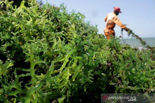 Menteri KKP dukung pembangunan lumbung rumput laut di Maluku Tenggara