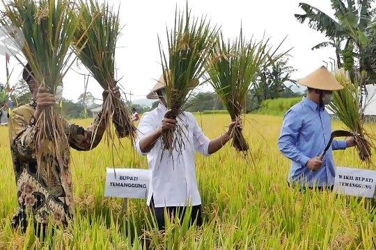Padi varietas Inpari 32 jadi unggulan petani Temanggung