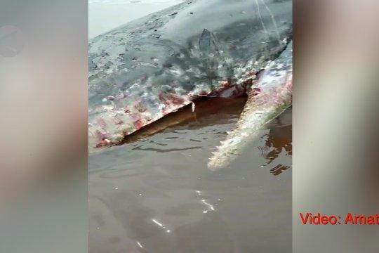 Paus terdampar dan mati di Pulau Obi sudah dievakuasi