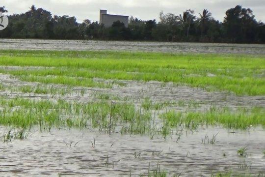 Pemerintah siapkan 1.100 ton bibit pengganti untuk petani Kalsel terdampak banjir