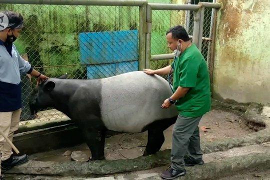 Taman Rimba Jambi siap sambut kelahiran bayi tapir asia