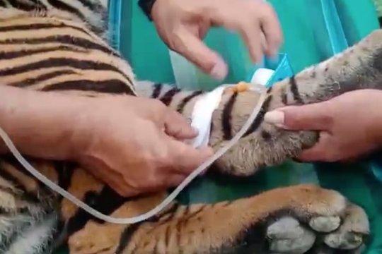 Sempat terjerat, seekor harimau akan dilepasliarkan BKSDA Aceh