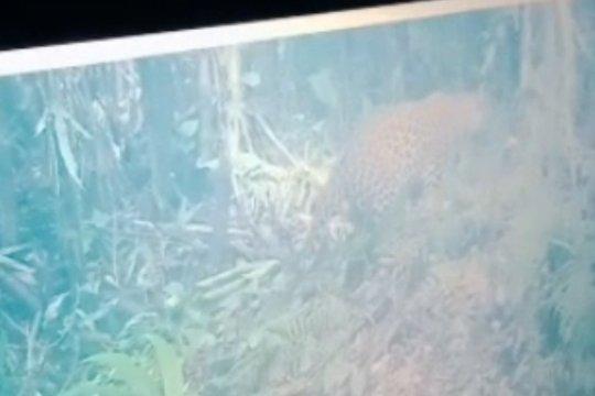 2 macan tutul terekam di lereng Gunung Semeru