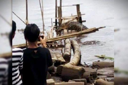 Buaya Sungai Mentaya Kalteng semakin sering dekati pemukiman warga
