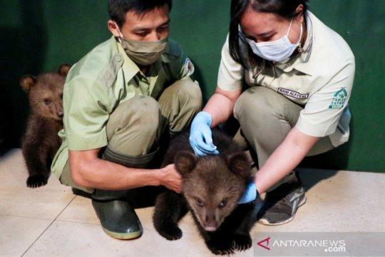 Dua bayi beruang cokelat Taman Safari Bogor imunisasi perdana