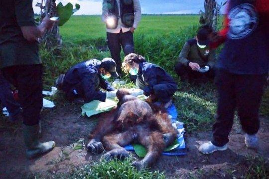 BKSDA selamatkan orangutan terluka senjata tajam di Kotawaringin Timur