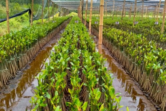 KKP bangun kebun bibit mangrove di Pasuruan Jawa Timur