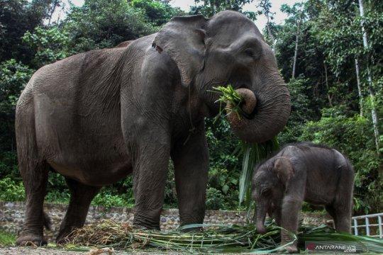 Gajah Sumatera bernama Sari lahirkan anak seberat 60 kg