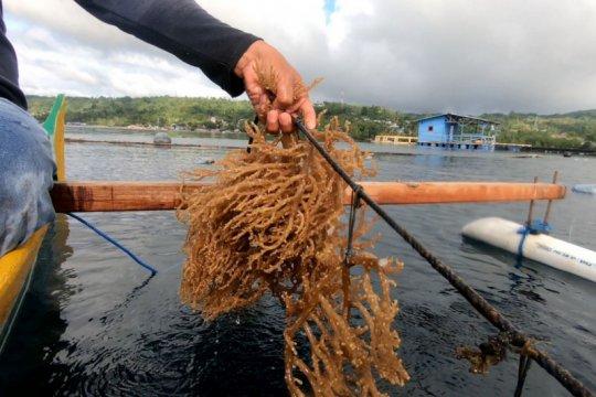 KKP bakal bangun sentra rumput laut di Indonesia bagian timur