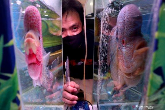 KKP optimistis RI jadi pengekspor ikan hias nomor satu dunia