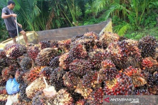 Harga sawit di Riau naik Rp14,21 per Kg