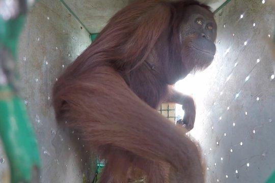 10 orangutan asal Kalimantan kembali ke habitatnya